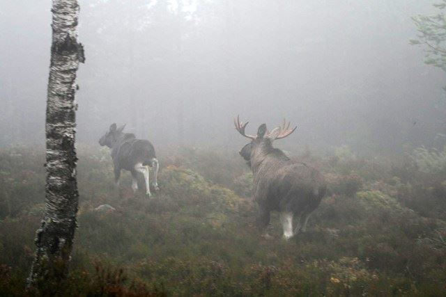 Moose hunting in magnificent mountain country in Ljungdalen