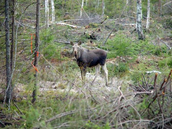 Moose hunting in Rantajärvi