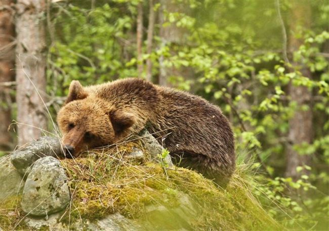 Bear watching from hide image