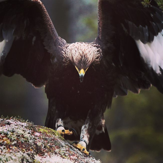 Eye to eye with a wild eagle! image