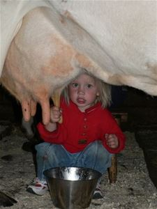 A little girl is milking a cow.