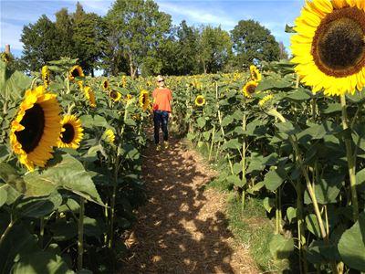 The sunflower field in Växjö