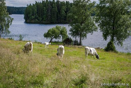 Cows in a pasture near water.