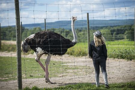 Ostrich and a visitor.