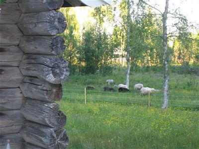 Enclosed pasture with sheep, summer flowers and birch.