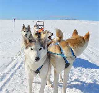 Five dogs with a sled.
