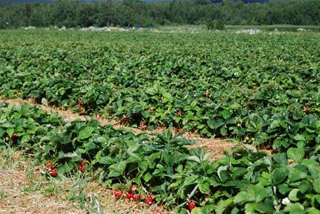 Field with strawberry plants.
