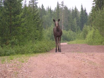 A moose on a road.