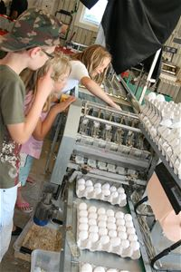 Packaging of eggs in cartons.